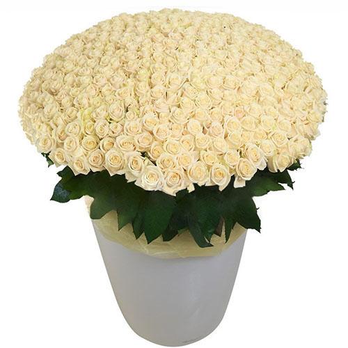 товар 301 белая роза в большом вазоне